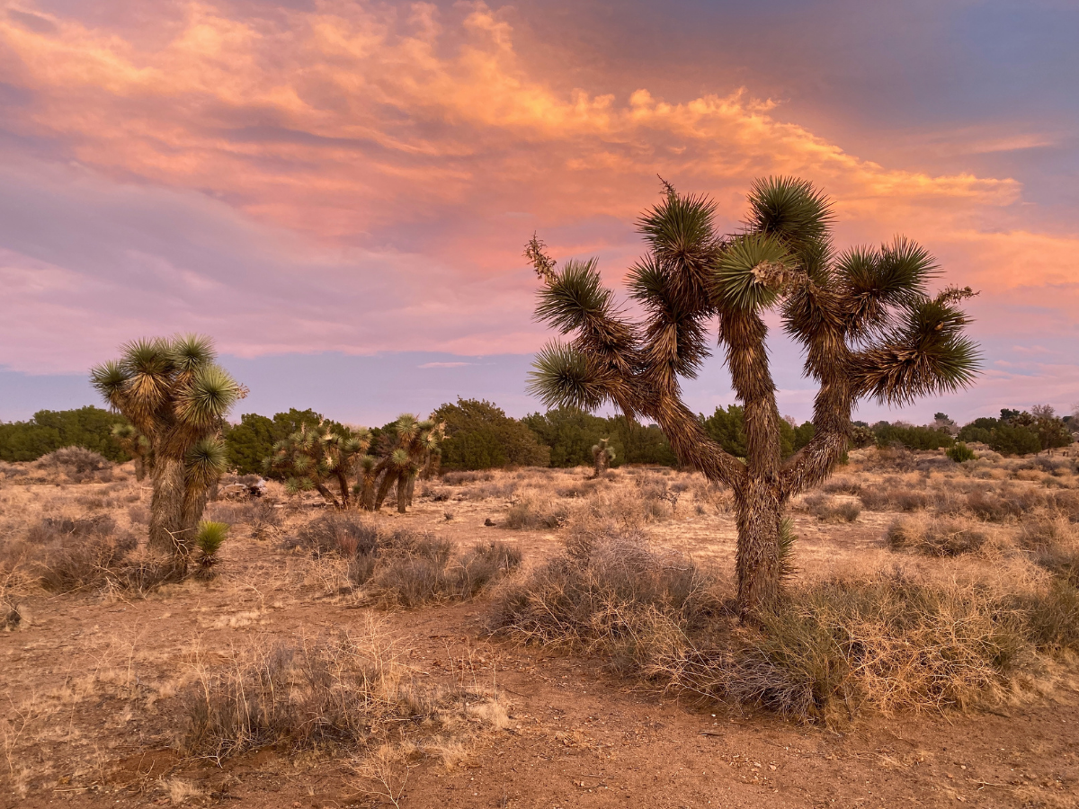 Western Joshua Trees Receive Temporary Protection Under  the California Endangered Species Act